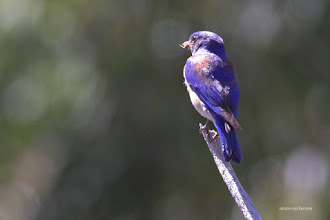 Photo: Western Bluebird