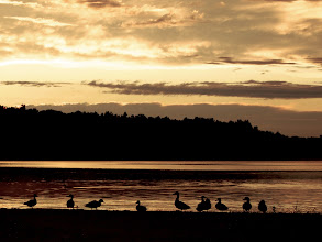 Photo: What is it about ducks? I can watch them all day and into the night.  #365project curated by +Susan Porter+Simon Kitcher+Patricia dos Santos Patonand +Vesna Krnjic  #sunset  #ducks  #summer