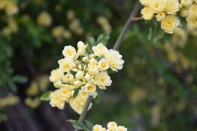 la primavera si tinge di giallo di DiegoCattel