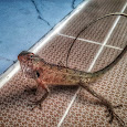 Reptiles of Sri Lanka