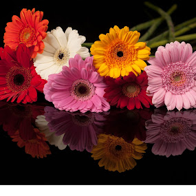 Flowers in black glass by Renata Horáková - Flowers Flower Arangements ( reflection, germini, still life, flowers, gerbera, black glass,  )