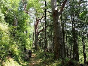 松の巨木が続く