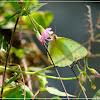 Catopsilia pyranthe 梨花遷粉蝶