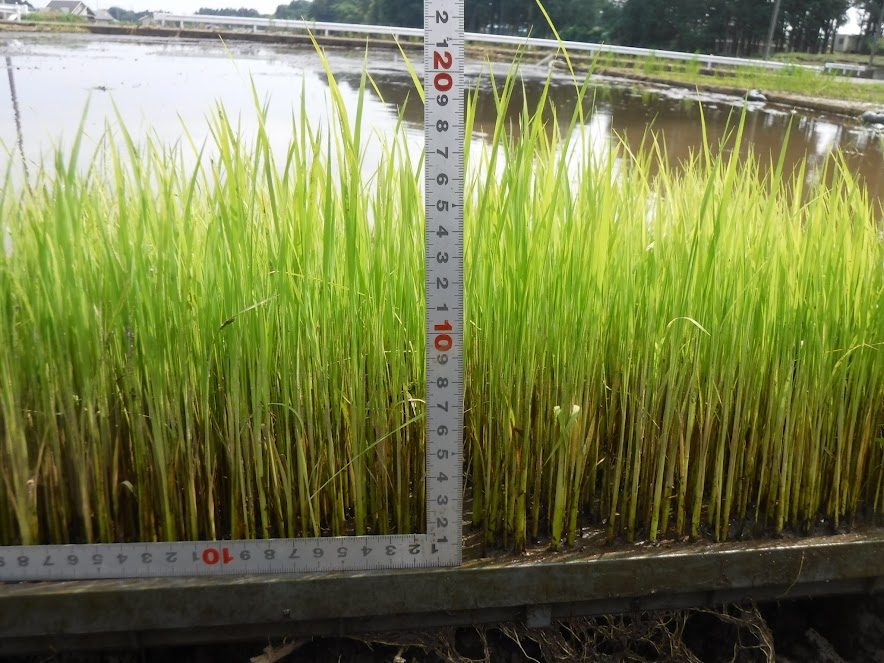 大きくなった稲の苗