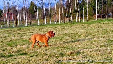 Photo: dogue de bordeaux