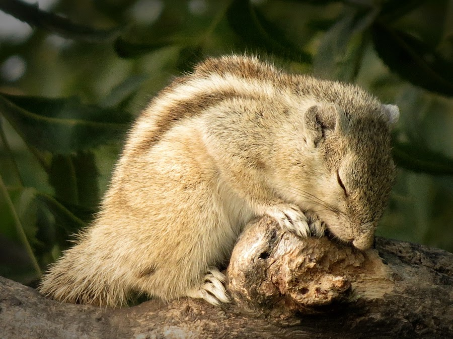 Sleeping Beauty ... by Shalabh Saxena - Animals Other Mammals ( tree, squirrel, animal )
