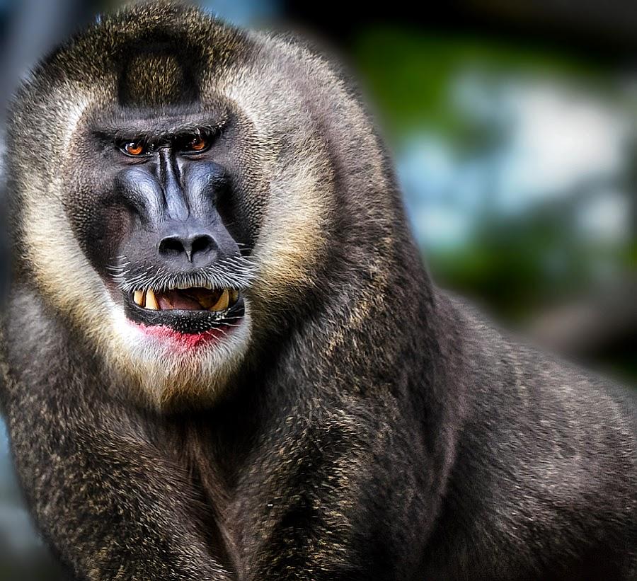 Ape  Mr. Lover  Boombastic by Renos Hadjikyriacou - Animals Other Mammals (  )