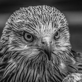 Kite by Garry Chisholm - Black & White Animals ( bird, garry chisholm, nature, black and white, kite, wildlife, prey, raptor )