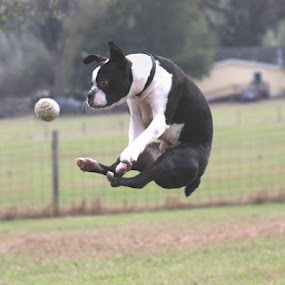 Eye ont the Ball by Debby  Raskin - Animals - Dogs Portraits ( ball, boston terrier, jump )