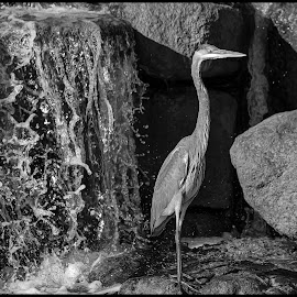 Great Blue Heron by Dave Lipchen - Black & White Animals ( great blue heron )