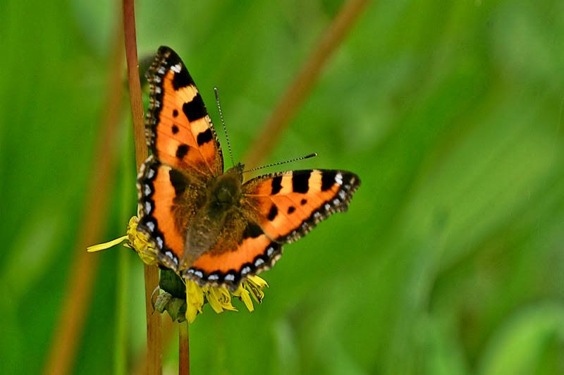 Papillon di acquario