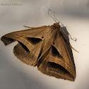 Perasia Moth