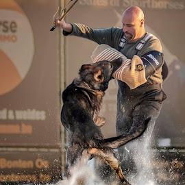 Working dog attack by Canine Cardi - Animals - Dogs Running ( k9-cardi, german shepherd, ipo, k9 )
