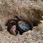 Brown Land Crab