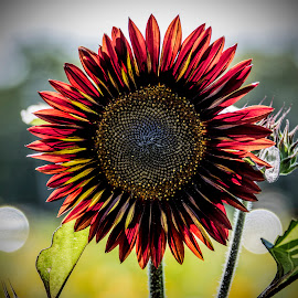 Multicolor sunflower by Paul Drajem - Flowers Single Flower ( outdoor, flowers, nature, plants, sunflowers, danger,  )