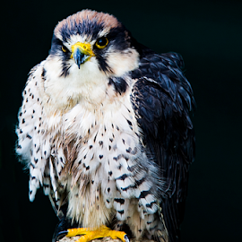 by Paul Scullion - Animals Birds ( bird, bird of prey, nature, nature up close, paul scullion photography,  )