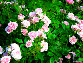 Photo: June 3, 2012 - Pink Roses #creative366project curated by +Jeff Matsuya and +Takahiro Yamamoto #under5k +Creative 366 Project