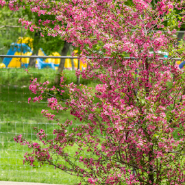 Pink Blooming Tree by Julie Wooden - Flowers Tree Blossoms ( pink flowers, pink blooming tree, north dakota, nature, park, bismarck, colorful, outdoors, pink, flowers, landscape, spring, blooming tree,  )