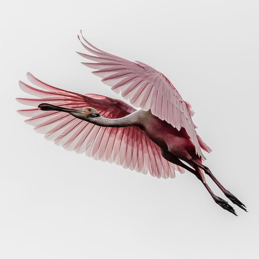 Roseate Spoonbill by David Long - Animals Birds ( saint augustine, alligator farm, roseate spoonbill )