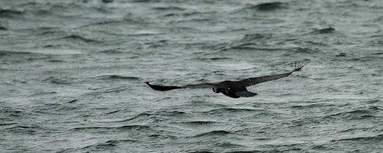 Photo: Grand cormoran (Alsace)