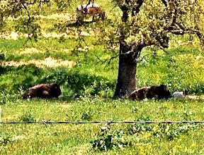 Photo: Buffalo on Ballard Canyon Road
