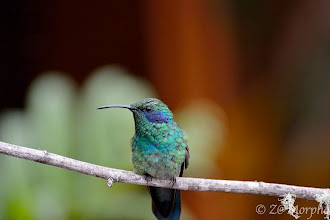 Photo: Green Violet-ear Hummingbird @ Savegre Lodge, San Gerardo de Dota