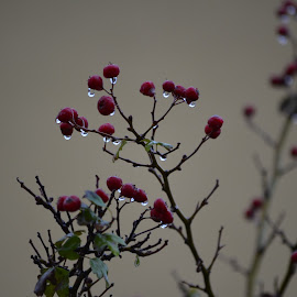 Winter is coming by Gabriel Domnariu - Nature Up Close Other plants ( red, drop, fall, autumn )