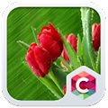 Best Rose Theme HD download