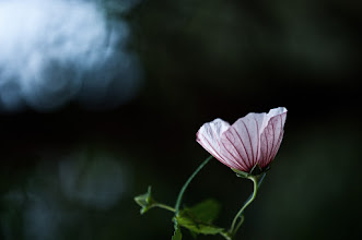Photo: we often take the gift of sight for granted... what a waste to be able to see and yet be blind to the beauty around you...  #floralphotography  #flowers  #bokeh  #nikonshooters