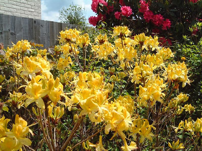 Photo: Yellow Azalea