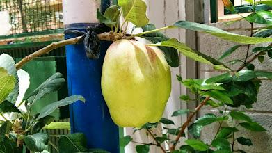 Photo: Manzano - pomer