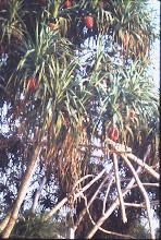 Photo: Fruit bearing tree near RAAF darwin, (Jun 1969)