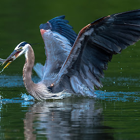 Great Blue with Fish by Mike Watts - Animals Birds ( great blue heron, fish, heron )