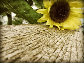 Photo: Old-fashioned photo of a sunflower laying on an old, wooden fence at Cox Arboretum in Dayton, Ohio.