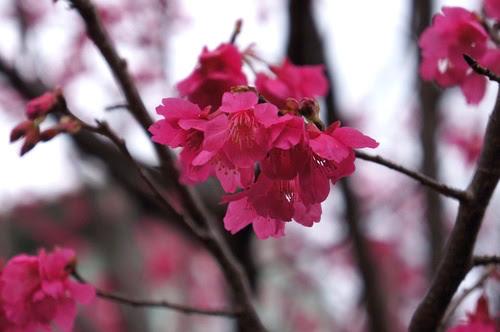 北海岸景點推薦-三芝櫻花季【無極天元宮】