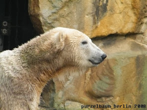 Photo: Wunderschoener Eisbaerjunge Knut :-)