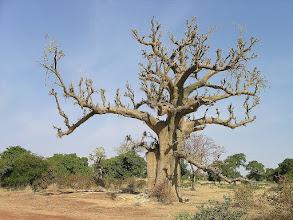 Photo: baobab afrykański