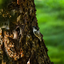 Photo: Nuthatch on river birch These little birds look like wind-up toys the way they march up and down (head first) trees picking for insects and larvae.  #365project curated by +Simon Kitcher+Patricia dos Santos Patonand +Vesna Krnjic  #birdloversworldwide