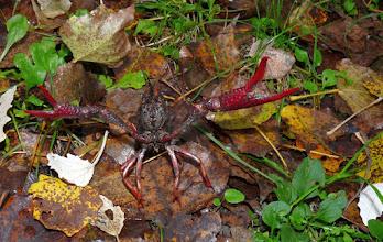 Photo: Gambero rosso della Louisiana (Procambarus clarkii). Bentivoglio (BO) 10/2012