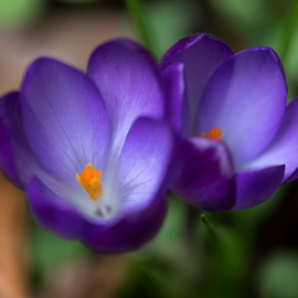 Two Purple Crocus by Keith Sutherland - Flowers Flower Buds ( purple crocus, flower )