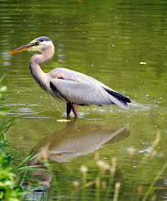 Photo: Backyard wildlife: great blue heron