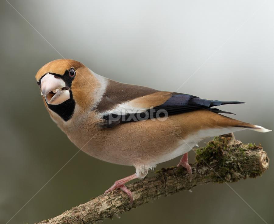 Coccothraustes coccothraustes by Dragomir Taborin - Animals Birds