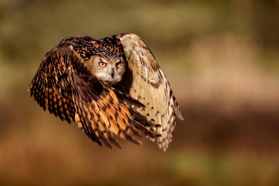 flight of the eagle owl by Mark Bridger - Animals Birds