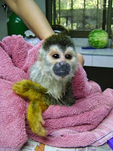 Photo: Titi monkey named Eddie Baby and adopted  in the name of Happy Destiny LLC  Released 3/2012 after burns on his abdomen healed.  He was brought in by the fire department.