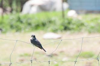 Photo: Tree Swallow (Sumpfschwalbe); Kingston, ON