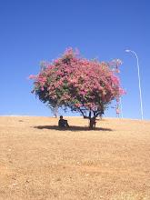 Photo: ブーゲンビリアの木