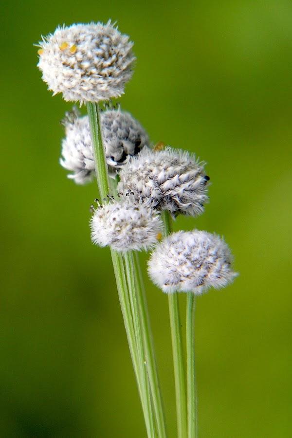 Wild flower -kas,Maharastra by Sanjay Nagaonkar - Nature Up Close Flowers - 2011-2013 ( wild flower )