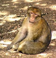 Description: Macaca sylvanus.jpg