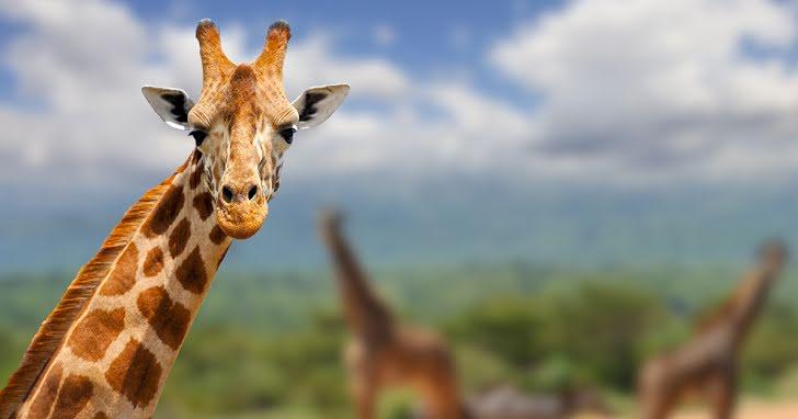 Är du en varg eller en giraff?