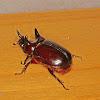 Trihorned beetle